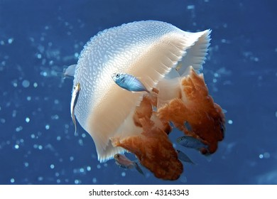 Mosaic Jellyfish with jacks surrounding, swimming in the Coral Sea.