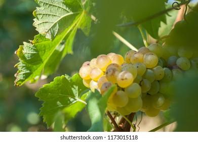 Moscato in Piedmont vineyard in September