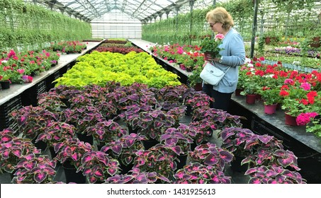 Moscow region, Russia, June 2019: Blonde woman picks flowers in a greenhouse, look at the Coleus, holding a pot of pink geraniums on a blurred background of other bright color and hanging tradescantia