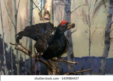 Moscow Region, Russia - March 25, 2019: Scarecrow capercaillie. Eskponat in the exposition of the museum Prioksko-Terrasnogo reserve. The territory of wildlife in the most densely populated region