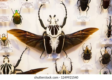 Moscow, Russia, 11/26/2018, collection of beetles. The Royal Goliath beetle. The Royal Goliath beetle is considered to be the heaviest of all beetles inhabiting the planet.
