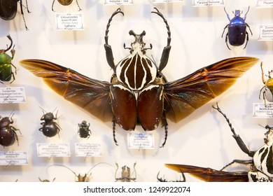 Moscow, Russia, 11/26/2018, collection of beetles. Goliath beetle. Goliath beetles are one of the largest beetles on the planet. They belong to the scarab family, which contains more than 30,000 speci