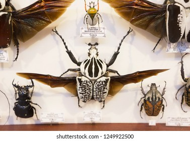Moscow, Russia, 11/26/2018, collection of beetles. Beetle-the Goliath of the East. Goliath beetles are one of the largest beetles on the planet. They belong to the scarab family, which contains more t
