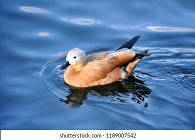 moscow, russia - Beautiful female ruddy shelduck swimming in water of Bolshoy (Big) Presnensky Pond on the grounds of Moscow Zoo.