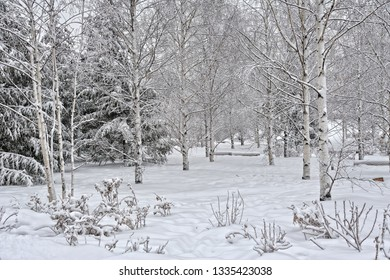 MOSCOW, RUSSIA - Beautiful white Birch trees on the grounds of Zaryadye Park in the historical center of Moscow city after a heavy snowfall.