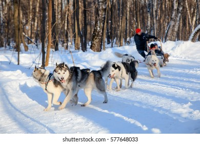 """MOSCOW, RUSSIA - FEBRUARY 02, 2017: Husky dogs are pulling sledge  at sunny winter forest. """"Along the way with huskies"""" challenge in the Sokolniki park, Moscow on February 02, 2017."""