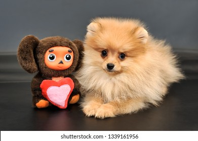 MOSCOW, RUSSIA - February 23, 2019 Long haired red Pomeranian Spitz puppy and Cheburashka toy with love heart on a black isolated background.