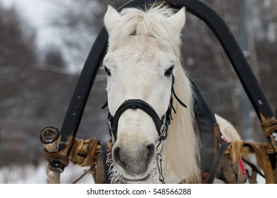 Moscow, Russia - January 4, 2017: A portrait of a white horse in harness
