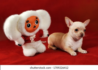 MOSCOW, RUSSIA - June 27, 2017 Portrait of a short-haired chihuahua puppy of red and white color with a toy Cheburashka on a red background.