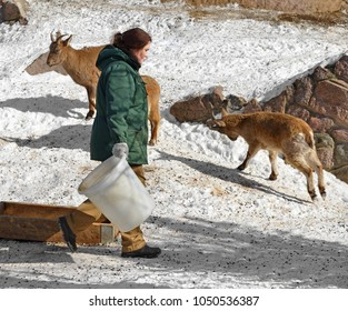 MOSCOW, RUSSIA - MARCH 18, 2018: Moscow zoo. Zookeeper and East Caucasian tur or Daghestan tur (Capra caucasica cylindricornis) in winter