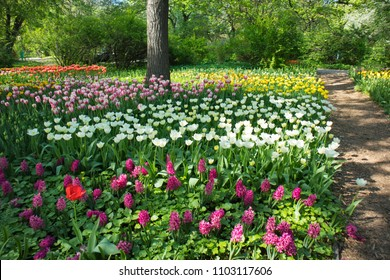 Moscow, RUSSIA - MAY 20, 2018: A flower bed with multi-colored tulips. Aptekarsky Ogorod (a branch of the Botanical Garden of Moscow State University), Moscow, Russia