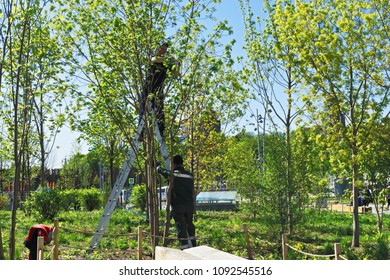 Moscow, Russia - May 7,2018: Gardeners trimming trees in Zaryadie park, Moscow, Russia