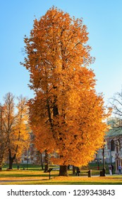 Moscow, Russia - October 17, 2018: Tall tree with yellow leaves in the park at sunny autumn day