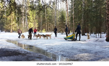 Moscow, Russia-MARCH 10, 2015: Dog sledding is a popular activity in the winter season in Russia.