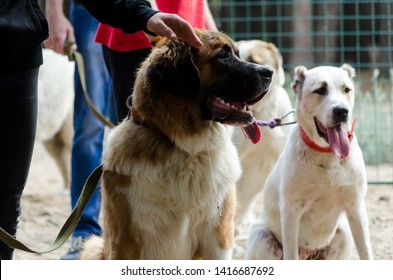 Moscow watchdog and Central Asian shepherd in the classroom with a dog handler. Waiting for their turn. Dogs are closely watching what is happening on the blade. Well wait, do not react
