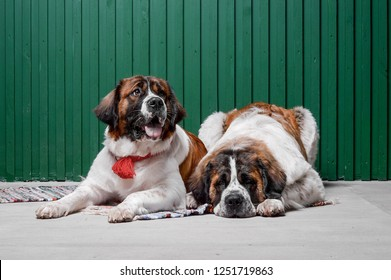Moscow watchdog puppies laying in the studio with green wall