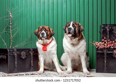 Moscow watchdog puppies sitting in the studio with green wall near suitcases with flowers