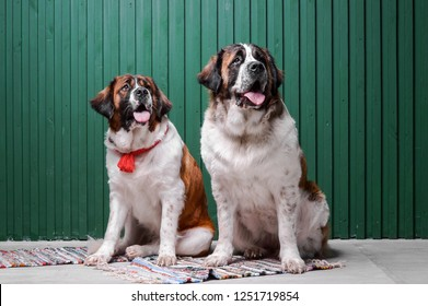Moscow watchdog puppies sitting in the studio with green wall