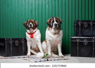 Moscow watchdog puppies sitting in the studio with green wall near suitcases with a flower