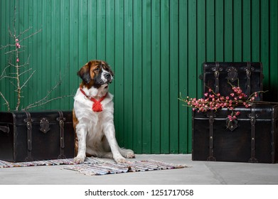 Moscow watchdog puppy sitting in the studio with green wall near suitcases with flowers