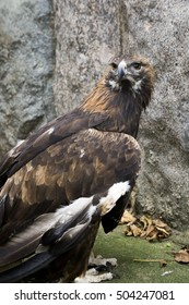 Moscow Zoo. Golden eagle