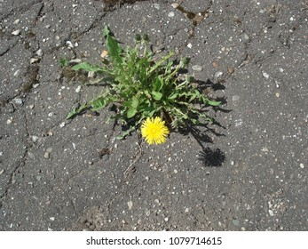 Moscow/Russia: Aplil 29 2018: Dandelion in the city