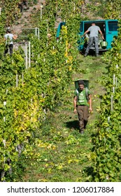 Mosel Valley, Germany, 10.10.2018. harvesting grapes on the steep hills along the Mosel River is an exhausting job
