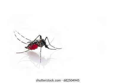 Mosquito (Aedes aegypti) sucking blood  is carrier of Malaria, Encephalitis, Dengue and Zika virus, isolated on white background