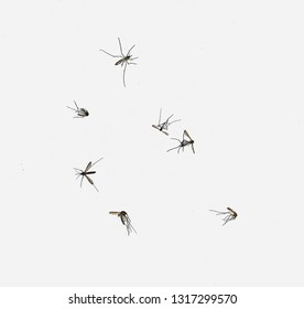 Mosquito Aedes Insect