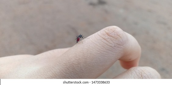 Mosquito bites full of blood,Mosquitoes have full blood,Hand mosquito,Mosquito bites on fingers,The mosquito bites blood full of stomach