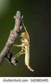 Mosquito - Buzzer midge (Chironomus plumosus), male, non-biting midge