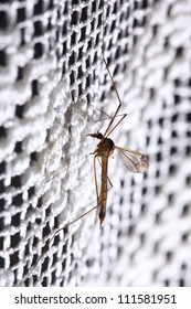 Mosquito (Culex pipiens) sitting on the net
