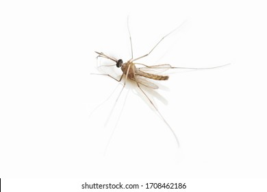 Mosquito dead on white background.