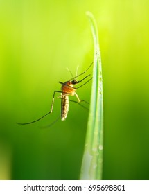 Mosquito gnat on a blade of grass in beautiful sunlight close-up macro on a blurred green artistic background.