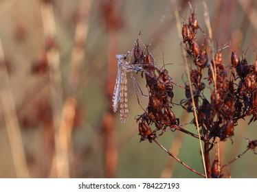 Mosquito Hawk - Mosquito Eater