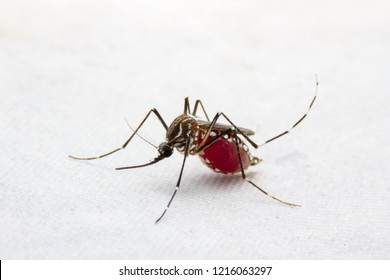 Mosquito isolated on white background, Mosquito is carrier of Malaria/ Encephalitis/ Dengue, Side view, Macro shot