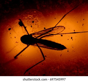 Mosquito in Lab