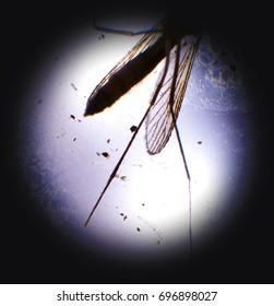 Mosquito Lab Test