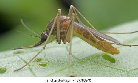 mosquito, malaria,influenza