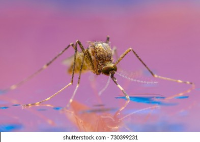 Mosquito on the water. Aedes aegypti Mosquito. Close up Mosquito Vector-borne diseases,Chikungunya.Dengue fever.Rift Valley fever.Yellow fever and virus Zika.