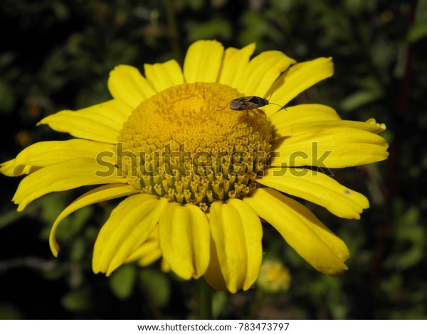 mosquito on a yellow flower prepared to eat