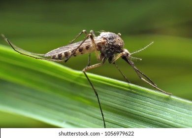 Mosquito resting on green grass. Male and female mosquitoes feed on nectar and plant juices.