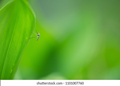 Mosquito resting on lily-of-the-valley leaf