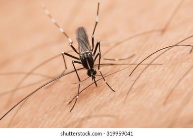 Mosquito sucking human (Culex pipiens)