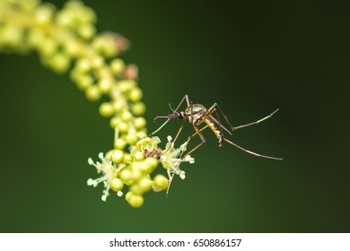 Mosquitoes eat flowers