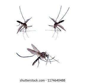 mosquitoes isolated on white background