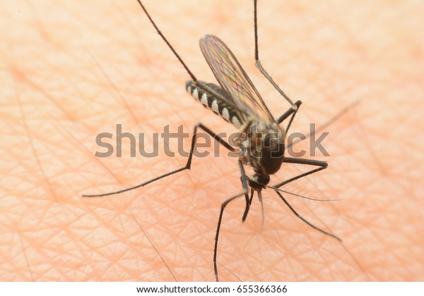 Mosquitoes are sucking blood from our bodies very dangerous.