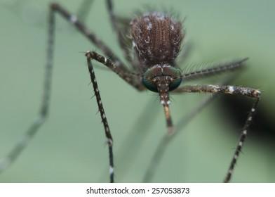 mosquitos mosquito