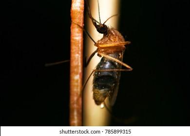mosquito,Super macro ,Dangerous Zica virus aedes aegypti mosquito