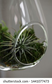 Moss and air plants in a glass bowl